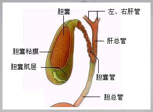 胆囊壁毛燥 增厚是怎么回事,该怎么治