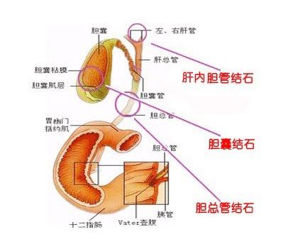 胆囊的解剖结构图